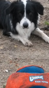 chuckit kick and fetch hondenvoetbal met border collie
